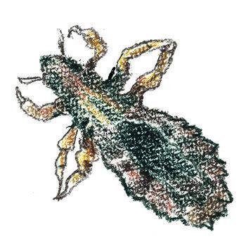 illustratie van een hoofdluis voor adviespagina van drs leenarts.